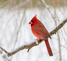 male cardinal 19 2013 by canonman7D