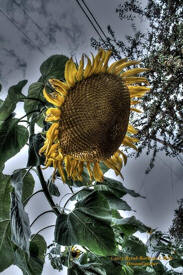 Sassy Sunflower by DreamCatcher/ Kyrah Barbette L Hale