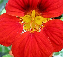 Nasturtium Glory by Orla Cahill Photography
