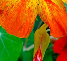 Firey Nasturtium by Orla Cahill Photography