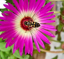 Honey Bee On A Mesembryanthemum by Orla Cahill Photography