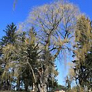 Winter old willow tree against  blue sky in Toronto Botanical Garden.  by naturematters