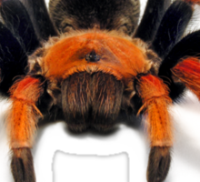 Mexican Beauty Tarantula Spider  Sticker