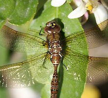 Dragonfly and Orange Blossom by rhamm