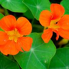 Nasturtiums in Orange by Orla Cahill Photography