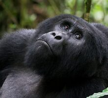 Mountain Gorilla by Steve Langton