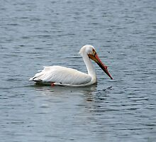 American White Pelican Swimming by rhamm