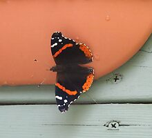 Red Admiral Butterfly by Alice Kahn