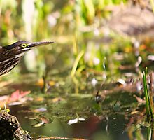 Green Heron - Mud Lake, Ottawa, ON by Josef Pittner