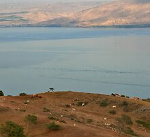 Cows at observation point by Nira Dabush