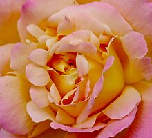 Sunrisen Rose by Lauramazing