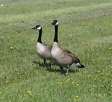 Pair of Geese on Grass With Dandelions by rhamm