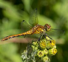 male Ruddy Darter by Hugh J Griffiths