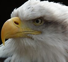 Bald Eagle against black background by Jasmine Curtis