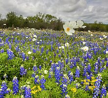 Texas Wildflower Images - White Poppies in a Field of Bluebonnets 2 by RobGreebonPhoto