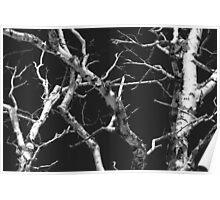 Dead Birch 1 Black and White Poster