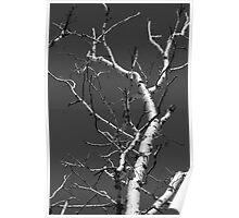 Dead Birch 2 Black and White Poster