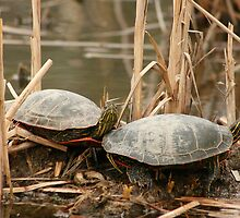 Pair of Painted Turtles by rhamm