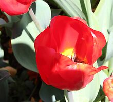 Red tulip by Mhodgkin2000