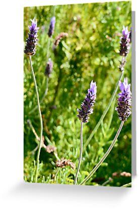 Lavender by Chelsea McCann