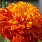 African Marigold In Full Bloom by biglnet