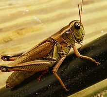 Grasshopper by PineSinger