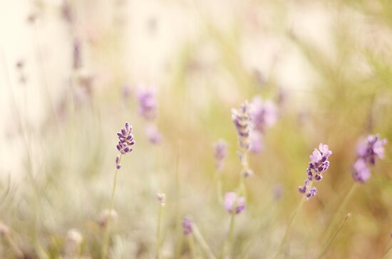 Softly lavender ♥ by Gisele  Morgan