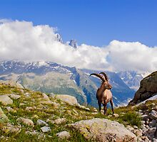 Alpine ibex  by MIRCEA COSTINA