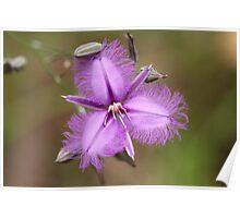 Fringe Lily - Australian wild flower Poster
