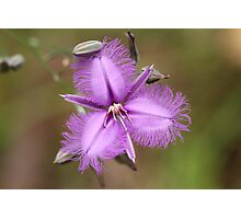 Fringe Lily - Australian wild flower Photographic Print