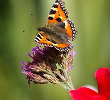 Small Tortoiseshell Butterfly by ajwimages
