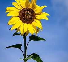 Sunflower in the Sun by ajwimages