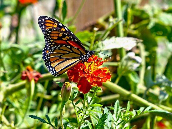 Monarch on Marigold by Susan S. Kline