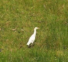 Cattle Egret Standing in a Field by rhamm