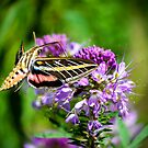 Hummingbird Moth by George I. Davidson