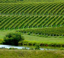 TRUMP VINEYARD    ^ by ctheworld