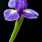 Purple iris by sc-images