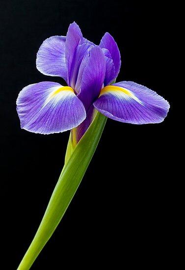 Purple iris by sc-images
