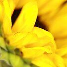 Sunflower 2 by April Webb