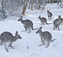 Eastern Grey kangaroos in snow, Snowy Mountains, Australia by DBigwood