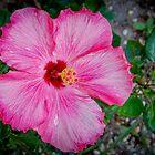 Hibiscus # 3 by Ken Baugh