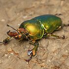 Golden stag beetle - Lamprina sp. by Andrew Trevor-Jones