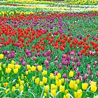 A Rainbow of Tulips by Penny Smith