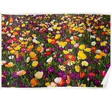 Poppies, Floriade, Canberra, Australian Capital Territory, 2013 Poster