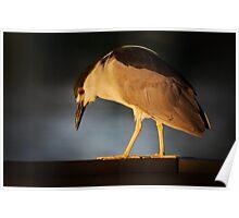 Night-Heron looking for breakfast Poster