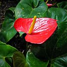 Anthurium by debidabble