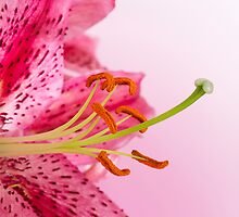 Vibrant pink lily by sc-images