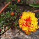 Portulaca by Linda  Makiej