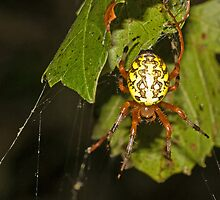 Marbled Orb Weaver by Otto Danby II