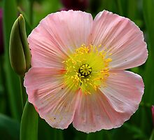 Pink Poppy. by Cameron B